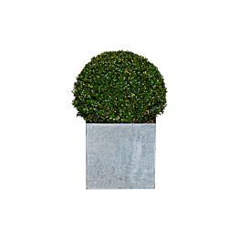 Buxus bolvorm H 45 cm met sierpot in zink