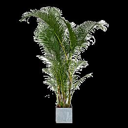 Palmboom H1,9m met zinken sierpot